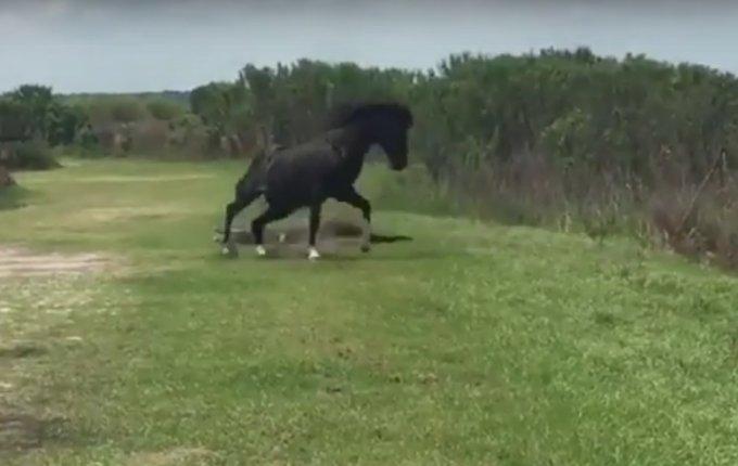 Неравный бой: резвая лошадь набросилась на крупного аллигатора. Видео