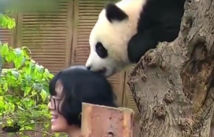 Детеныш панды вцепился зубами в голову любительнице селфи. Видео