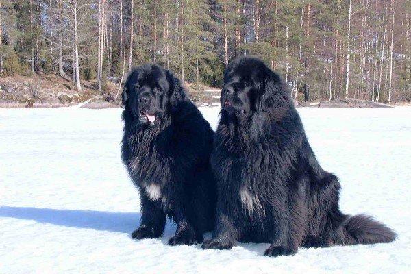 Самые крупные собаки в мире. Фото