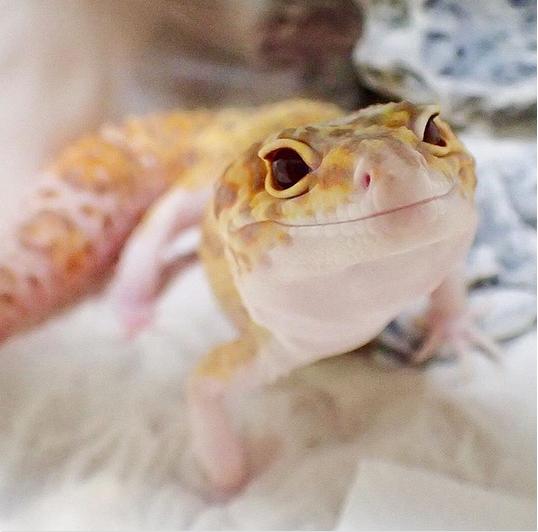 Улыбчивый геккон стал новой звездой Сети