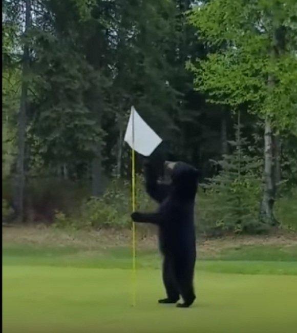 В Аляске медведь сорвал матч по гольфу. Видео