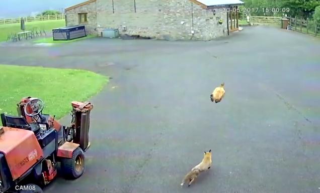 Не на жизнь, а на смерть: в Сети показали схватку лисы и курицы. Видео