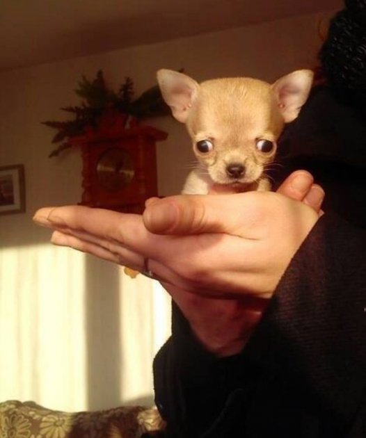 Найдена самая маленькая в мире собака. Фото