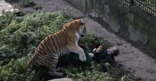 В Сети показали кадр нападения тигра на зоотехника