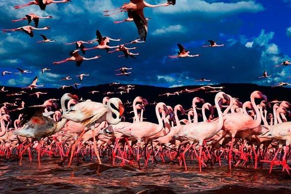 Завораживающие кадры озера миллиона розовых фламинго. Фото