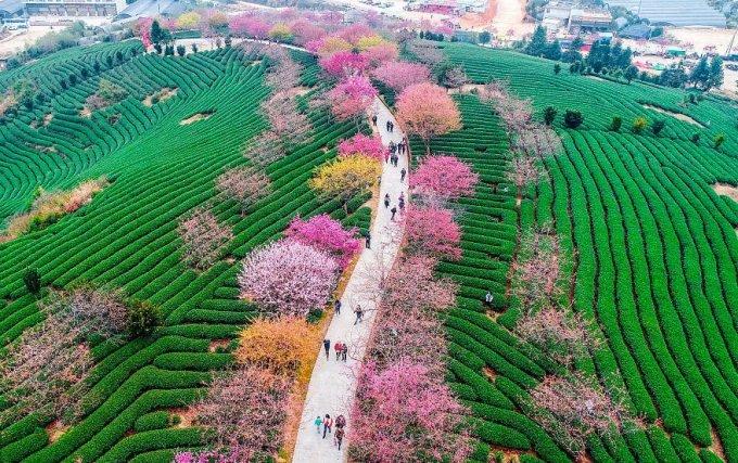 В Китае зацвели вишневые сады. От этого великолепия вы просто не сможете отвести глаз!