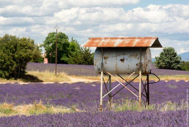 Весна пришла: невероятные лавандовые поля Франции. Фото