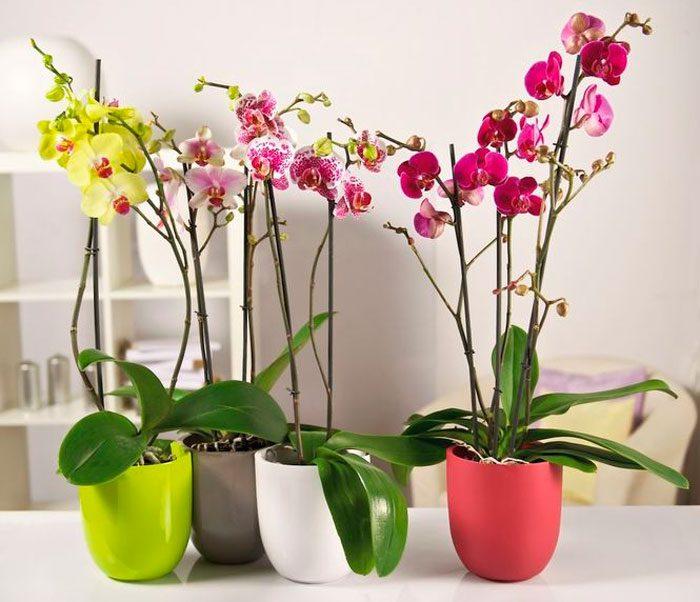Орхидеи в горшках с доставкой по Харькову