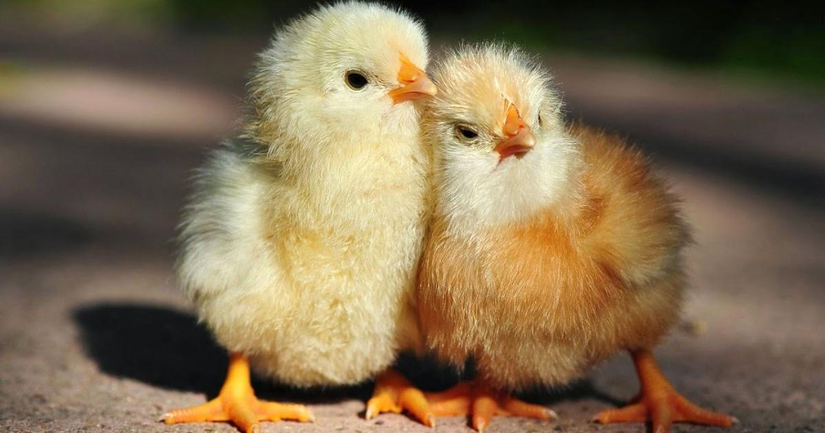 Эффективность перьевой муки в рационе цыплят
